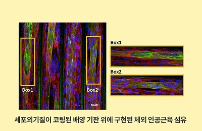 기계 조동우・김동성 공동연구팀, 인간의 근육 모방한 체외 인공근육 재생 기술 개발